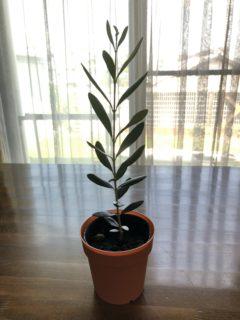 当園から育った1年生の苗木