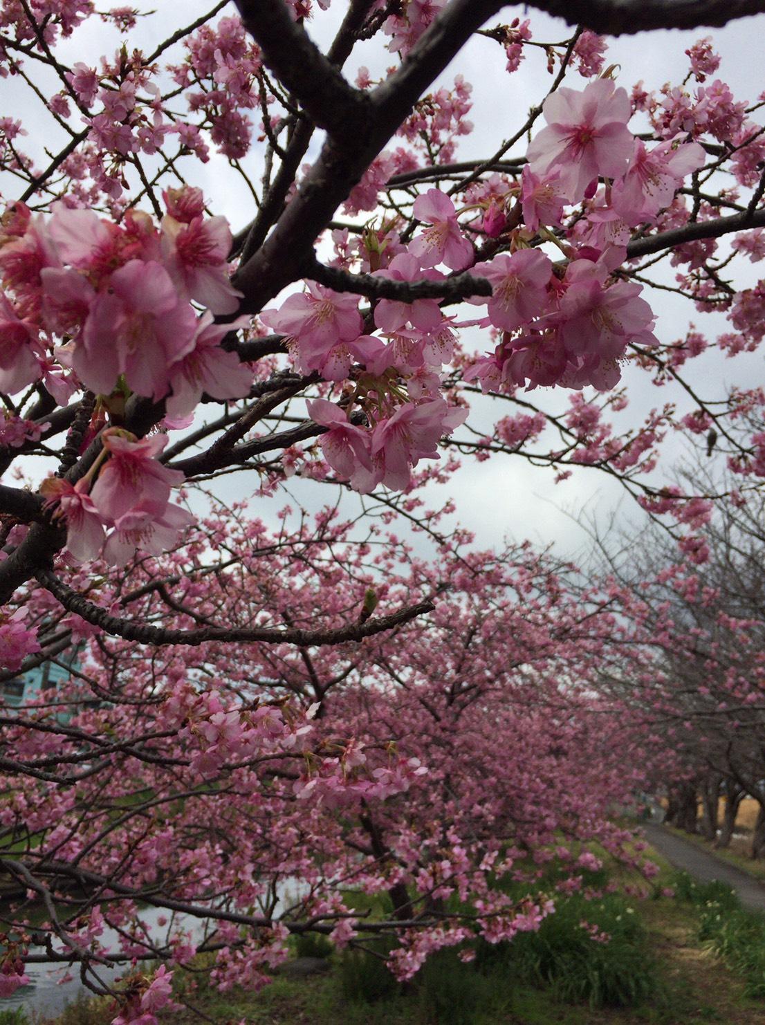 河津桜咲きました。